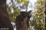 Lepilemur edwardsi sportive lemur [madagascar_ankarafantsika_0210]