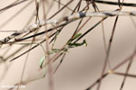 Green mantis [madagascar_ankarafantsika_0216]