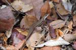 Lizard [madagascar_ankarafantsika_0219]