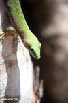 Madagascar giant day gecko (Phelsuma madagascariensis grandis) [madagascar_ankarafantsika_0227]