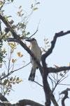 Crested Coua (Coua cristata) [madagascar_ankarafantsika_0228]
