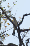 Crested Coua (Coua cristata) [madagascar_ankarafantsika_0229]