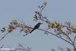Olive Bee-eater (Merops superciliosus)