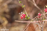 Red flowers [madagascar_ankarafantsika_0241]
