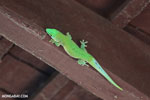 Madagascar giant day gecko (Phelsuma madagascariensis grandis) [madagascar_ankarafantsika_0262]