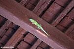 Madagascar giant day gecko (Phelsuma madagascariensis grandis) [madagascar_ankarafantsika_0263]