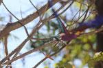 Broad-billed Roller (Eurystomus glaucurus) [madagascar_ankarafantsika_0265]