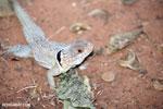 Madagascar spiny tailed iguana (Oplurus cuvieri) [madagascar_ankarafantsika_0270]