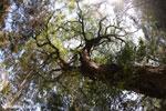Canopy tree in Ankarafantsika NP