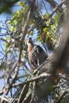 Raptor [madagascar_ankarafantsika_0281]