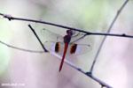 Unidentified Dragonfly [madagascar_ankarafantsika_0282]