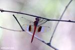 Unidentified Dragonfly [madagascar_ankarafantsika_0283]