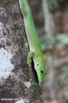 Madagascar giant day gecko (Phelsuma madagascariensis grandis) [madagascar_ankarafantsika_0311]