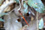 Unidentified Dragonfly [madagascar_ankarafantsika_0315]