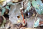 Unidentified Dragonfly [madagascar_ankarafantsika_0316]