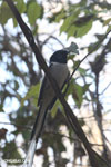 Male Malagasy Paradise Flycatcher (Terpsiphone mutata)
