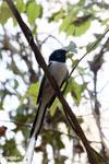 Male Madagascar Paradise Flycatcher (Terpsiphone mutata)