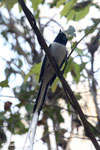 Male Madagascar Paradise Flycatcher (Terpsiphone mutata) [madagascar_ankarafantsika_0321]