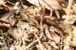 Mimophis mahfalensis snake [madagascar_ankarafantsika_0323]
