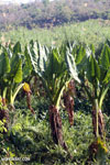 Elephant ear plants [madagascar_ankarafantsika_0325]