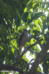 Raptor [madagascar_ankarafantsika_0329]