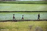 Malagasy villagers walking in a rice paddy [madagascar_ankarafantsika_0398]
