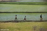 Malagasy villagers walking in a rice field [madagascar_ankarafantsika_0399]