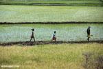 Malagasy villagers walking in a rice paddy [madagascar_ankarafantsika_0401]