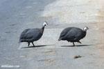 Invasive Guinea fowl in Madagascar [madagascar_ankarafantsika_0407]