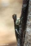 Spiny-tailed Oplurus (Oplurus cuvieri)