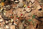 Red kapok berries