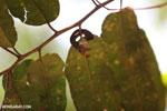 Red kapok berries [madagascar_ankarafantsika_0415]