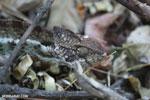 Malagasy giant chameleon (Furcifer oustaleti) [madagascar_ankarafantsika_0416]