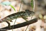 Oustalet's chameleon [madagascar_ankarafantsika_0419]