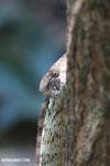 Malagasy giant chameleon (Furcifer oustaleti) [madagascar_ankarafantsika_0420]