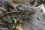 Oustalet's chameleon (Furcifer oustaleti) [madagascar_ankarafantsika_0421]