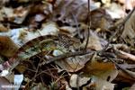 Malagasy giant chameleon [madagascar_ankarafantsika_0424]