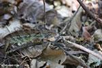 Oustalet's chameleon [madagascar_ankarafantsika_0425]