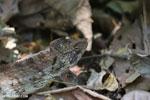 Malagasy giant chameleon (Furcifer oustaleti) [madagascar_ankarafantsika_0428]