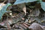 Oustalet's chameleon (Furcifer oustaleti) [madagascar_ankarafantsika_0429]
