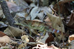 Malagasy giant chameleon [madagascar_ankarafantsika_0430]