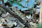Oustalet's chameleon (Furcifer oustaleti) [madagascar_ankarafantsika_0432]