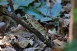 Malagasy giant chameleon [madagascar_ankarafantsika_0433]