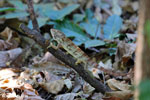 Malagasy giant chameleon (Furcifer oustaleti) [madagascar_ankarafantsika_0435]