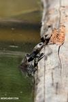 Madagascan big-headed turtle (Erymnochelys madagascariensis) [madagascar_ankarafantsika_0440]
