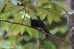 Crested drongo (Dicrurus forficatus)