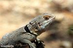 Madagascar spiny-tailed iguana [madagascar_ankarafantsika_0464]