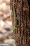 Madagascar giant day gecko (Phelsuma madagascariensis grandis) [madagascar_ankarafantsika_0468]