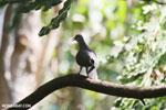 Malagasy Turtle Dove (Streptopelia picturata) [madagascar_ankarafantsika_0483]