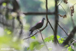 Malagasy Turtle Dove (Streptopelia picturata) [madagascar_ankarafantsika_0485]